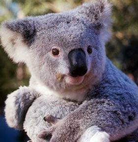 koala Q Es Un Koala