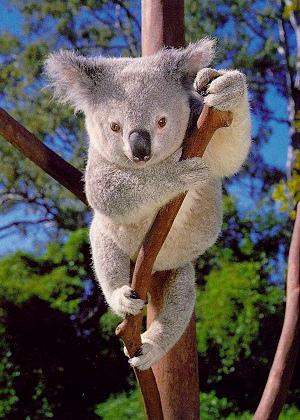 7 El animal mas dormilon es el Q Es Un Koala