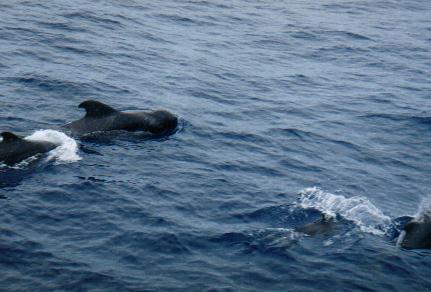 can_delfin ballenas pilotojpg