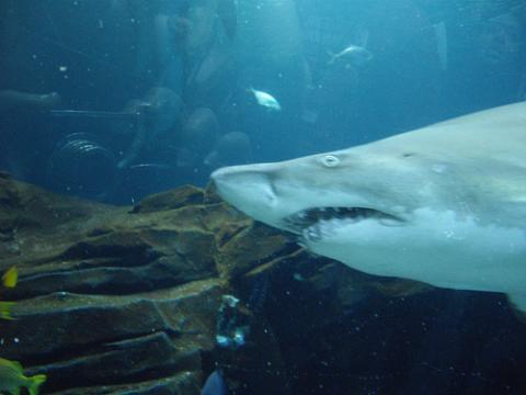 tigre-tiburon.jpg